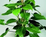 babosa-de-pau-conhecida-como-filodendro (1)