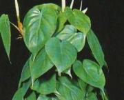 babosa-de-pau-conhecida-como-filodendro (3)