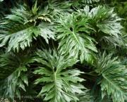 babosa-de-pau-conhecida-como-filodendro (5)