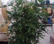 babosa-de-pau-conhecida-como-filodendro (11)