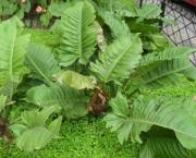 babosa-de-pau-conhecida-como-filodendro (12)