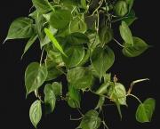 babosa-de-pau-conhecida-como-filodendro (14)