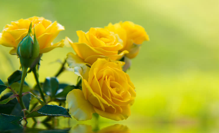 Banho De Rosas Amarelas Com Mel Para Que Serve Flores Cultura Mix