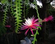 muda-de-cacto-sianinha-cryptocereus-anthonyanus-873101-MLB20278189402_042015-F