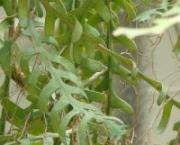 selenicereus_planta_peq