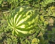 Watermelon on the plantation