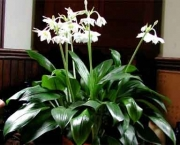 eucharis (4)