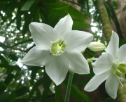 eucharis (6)