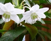 eucharis (9)