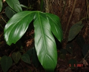 Philodendron holtonianum Schott