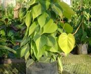 filodendro-cascata (4)