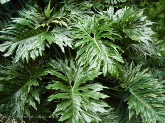 Filodendro variegata flores cultura mix for Planta filodendro