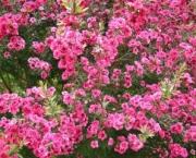 flor-leptospernum-arbusto (1)
