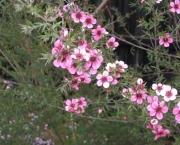 flor-leptospernum-arbusto (2)