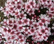 flor-leptospernum-arbusto (4)