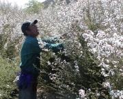 flor-leptospernum-arbusto (10)