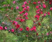 flor-leptospernum-arbusto (11)