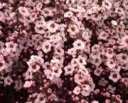 flor-leptospernum-arbusto (13)