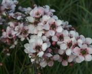 flor-leptospernum-arbusto (19)