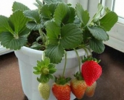 200pcs-big-giant-red-fruit-strawberry-seeds-DIY-Garden-fruit-seeds-balcony-seed-potted-plants-garden_350x350