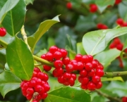 holly-bush-collection-3-potted-plants-2-1775622-regular