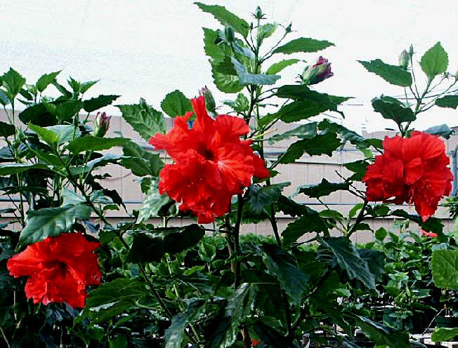 Plantas de todas as especies hibiscus rosa for Hibiscus arbol