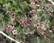 leptospermum (1)
