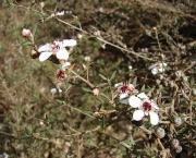 leptospermum (4)