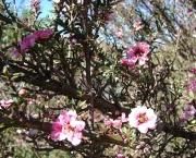 leptospermum (5)
