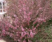leptospermum (6)