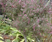 leptospermum (16)