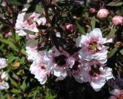 leptospermum (18)