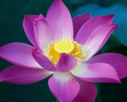 flor-de-lotus-rosa-wallpaper.jpg