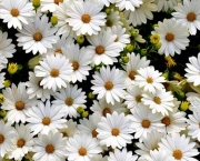 *** White Daisies *** Wide Desktop Background