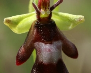 Ophrys Insectifera (3)
