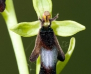 Ophrys Insectifera (9)