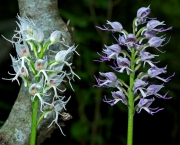 Orchis Simia (5)