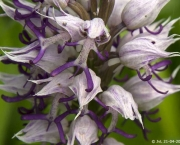 Orchis Simia (6)