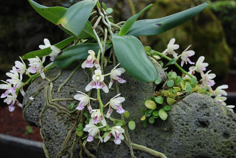 Orqu 237 Dea Selvagem Flores Cultura Mix