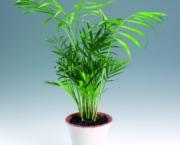 palmeira-chamaedorea-ideal-para-espacos-internos (18)