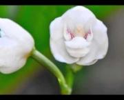 Peristeria Elata (3)