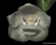 Peristeria Elata (12)