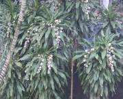 planta-pau-dagua-coqueiro-de-venus (2)