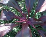 planta-pau-dagua-coqueiro-de-venus (4)