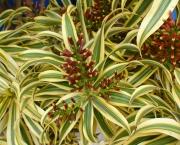 planta-pau-dagua-coqueiro-de-venus (5)