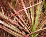planta-pau-dagua-coqueiro-de-venus (7)