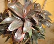 planta-pau-dagua-coqueiro-de-venus (9)