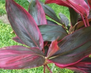 planta-pau-dagua-coqueiro-de-venus (11)