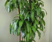 planta-pau-dagua-coqueiro-de-venus (13)