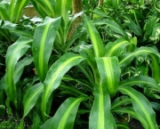 planta-pau-dagua-coqueiro-de-venus (14)